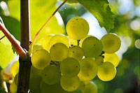 Organic Chardonnay grape