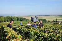 Harvest time at champagne Francis Boulard